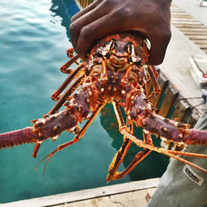 The Lowdown on the Caribbean - BVI Lobster